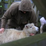sheep-rustler-2